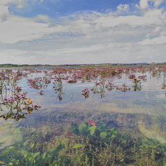 Sea lavender at high tide