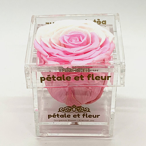 Single pink and white color rose in acrylic box