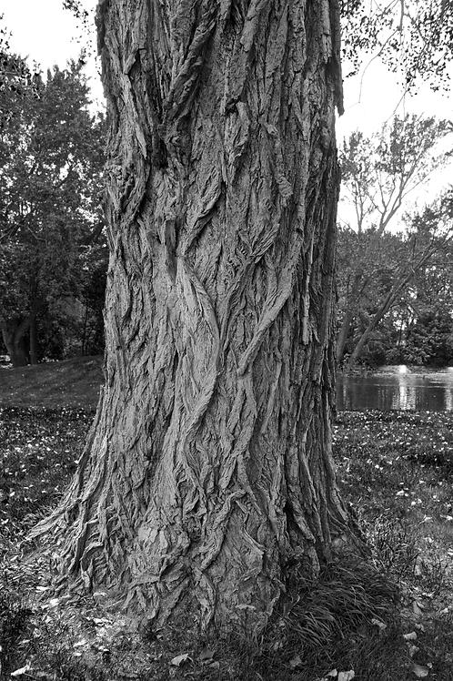 Crow River Tree