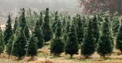 Christmas Tree Fields