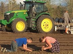 onions being transplanted