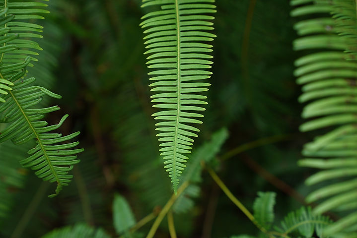 ferns-2898696_1920  Image by Spencer Win