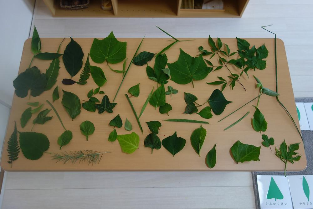 葉の分類 絵合わせカード