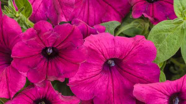 Petunia Supertunia- Royal Magenta