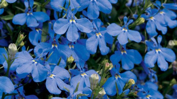 Lobelia Laguna- Dark Blue