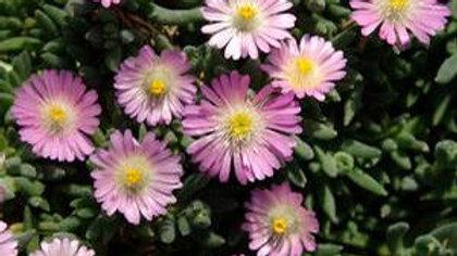 Delosperma- Jewel Desert Rose Quartz