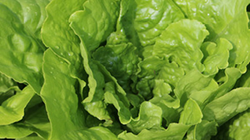 Lettuce Buttercrunch- Butter King