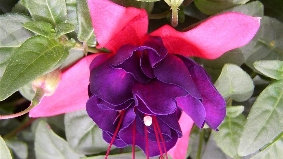 Fushia- Giant Royal Velvet