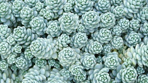 Sedum Creeping- Dasyphyllum Major