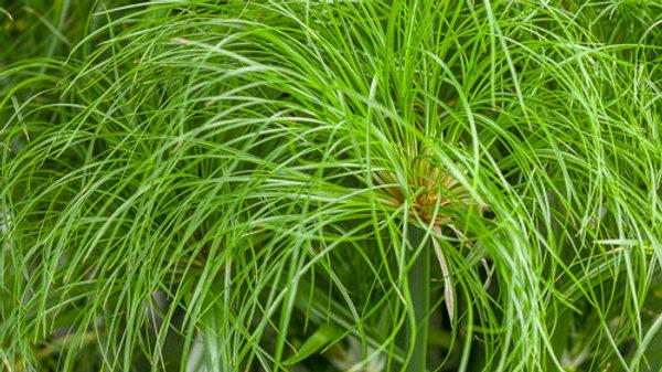 Cyperus- Prince Tut
