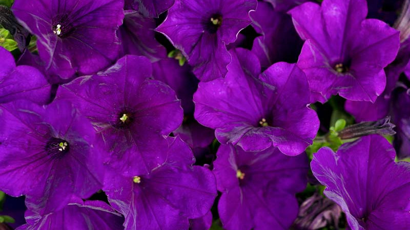 Petunia Supertunia- Royal Velvet
