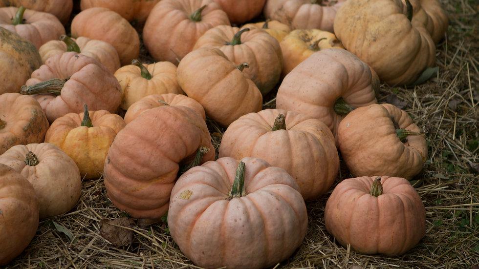 Pumpkin- Fairytale
