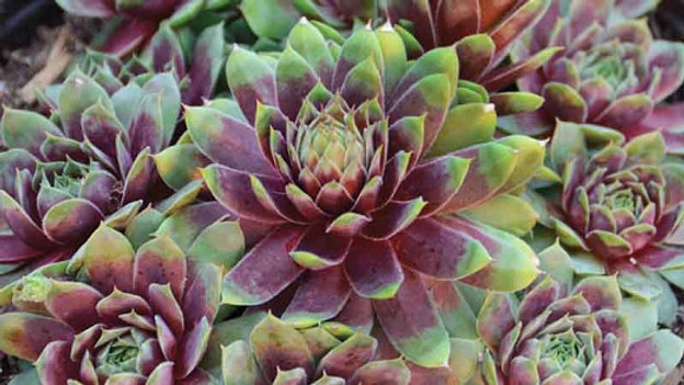 Sempervivum- Ruby Heart