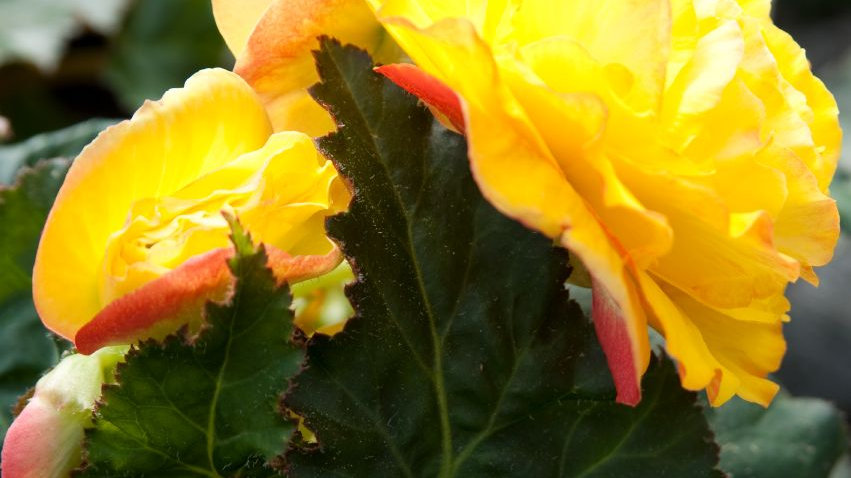 Begonia Non-Stop- Yellow with Red Black