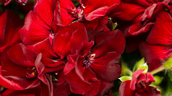 Geranium- Boldly Burgundy