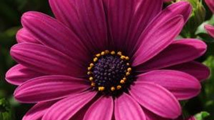 Osteospermum Serenity- Dark Purple