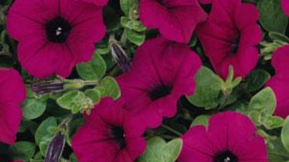 Petunia Wave- Purple Classic