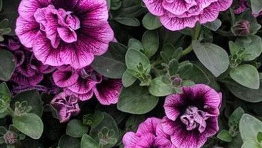 DBL Petunia Veranda - Sugar Plum