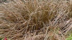 Carex- Toffee Twist