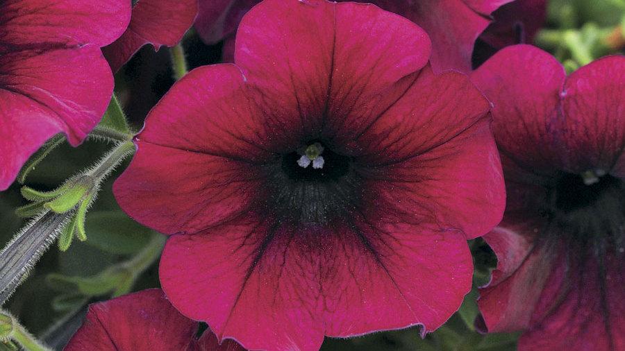 Petunia EasyWave- Velour Burgundy