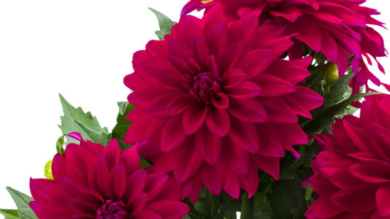 Dahlia La Bella- Maggiore Purple