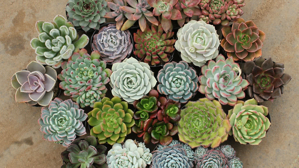 Echeveria- Mixed