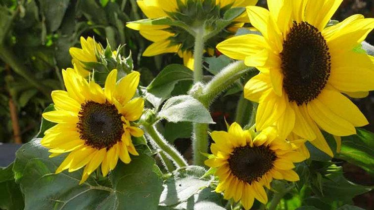 Helianthus Sunflower- Suntastic