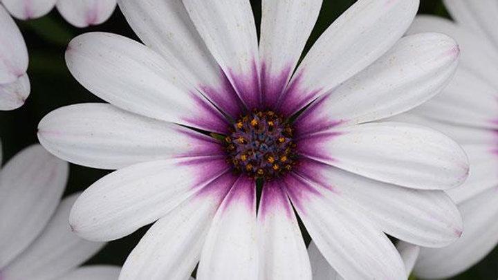 OsteoSpermum Serenity- Lavender Frost