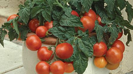 Tomato- Patio