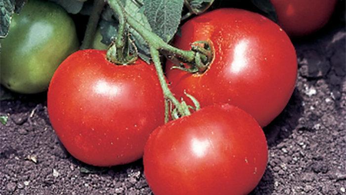 Tomato- Beefsteak Bush