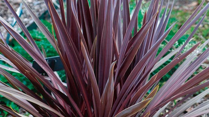 Cordyline- Red Sensation
