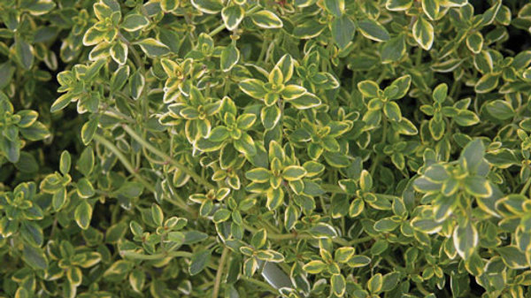 Thyme- Golden Lemon Variegated