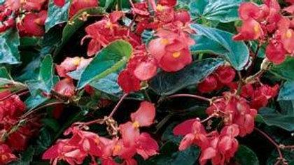 Begonia Dragon Wings-Red