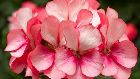 Geranium- Tango Pink Ice