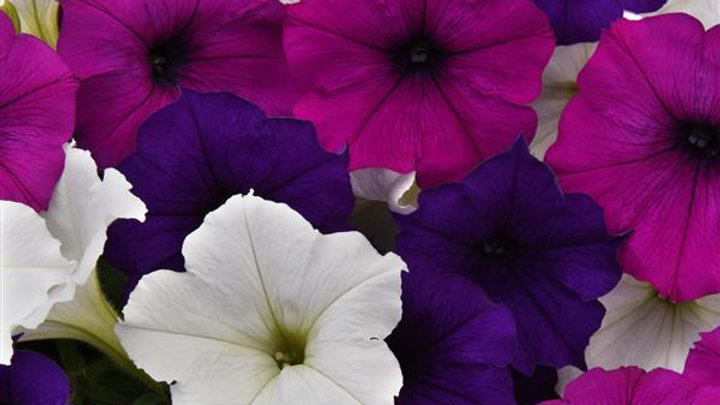 Petunia EasyWave- Great Lakes Mix