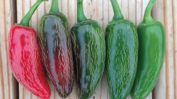 Pepper- Jalapeno Early Hot