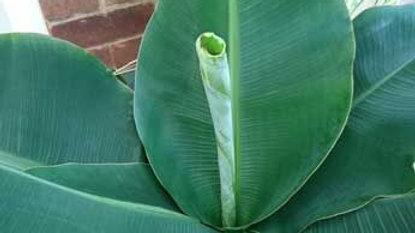 Musa- Banana Plant