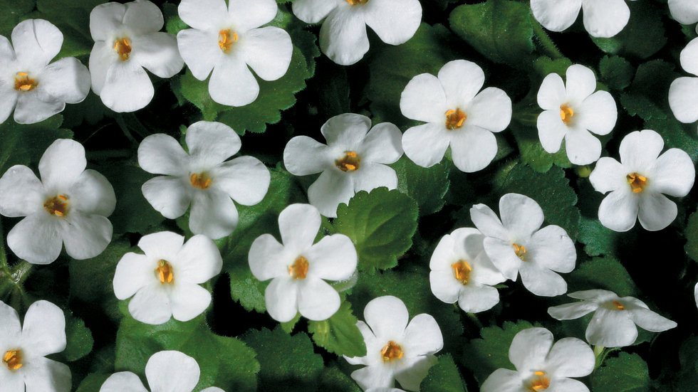 Bacopa Snowstorm- Giant Snowflake