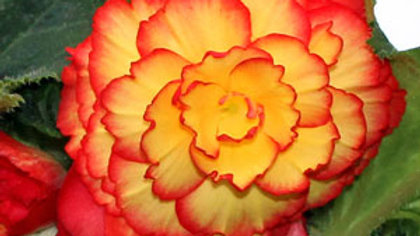 Begonia On Top- SunGlow