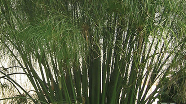 Cyperus- King Tut