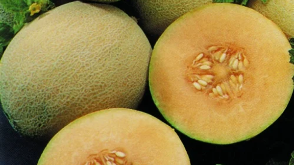 Melon- Cantaloupe Aphrodite