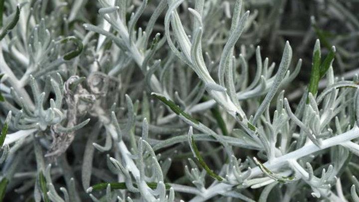 Helichrysum- Silver Thread