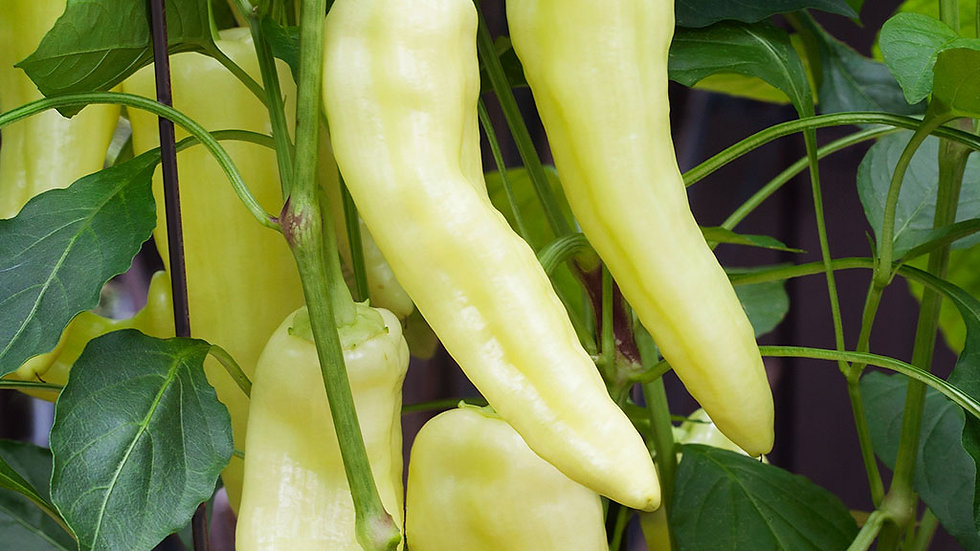 Pepper- Sweet Banana