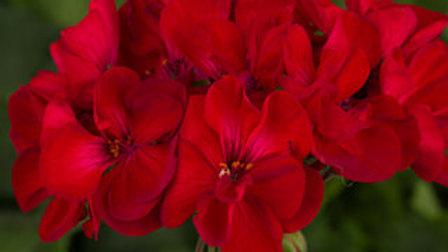 Geranium- Tango Red Velvet