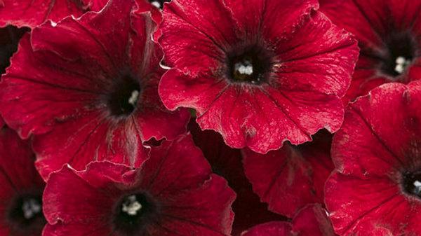Petunia Supertunia - Black Cherry