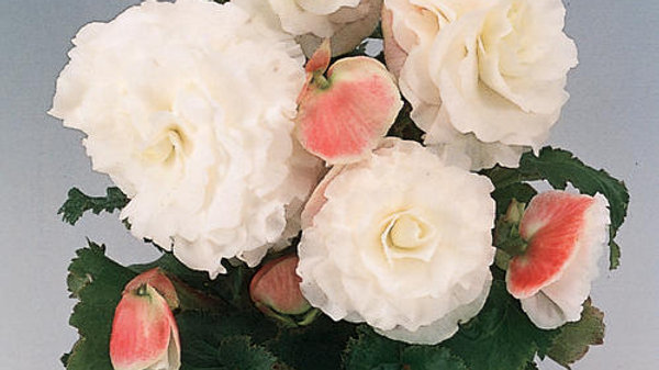 Begonia Non-Stop-Apple Blossam