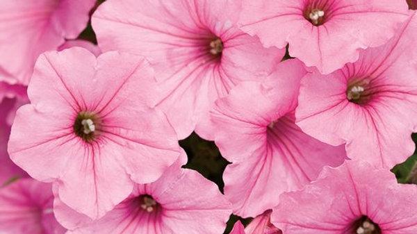 Petunia Supertunia Vista- Bubblegum