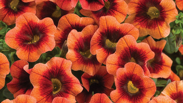 Calibrachoa Superbell- Tangerine Punch