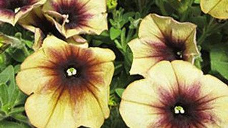Petunia Cascadia - Autumn Mystery