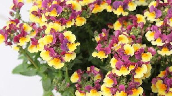 Nemesia- Yellow Bicolor